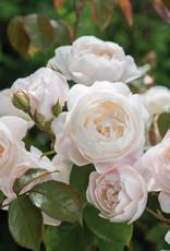 David Austin Desdemona™ English Rose