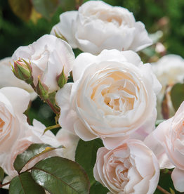David Austin Desdemona™ English Shrub Rose