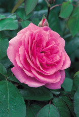 David Austin Gertrude Jekyll™ English Rose