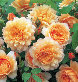 David Austin Grace™ English Rose