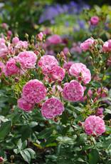 David Austin Harlow Carr™ English Rose