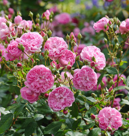 David Austin Harlow Carr™ English Rose