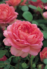 David Austin Jubilee Celebration™ English Rose