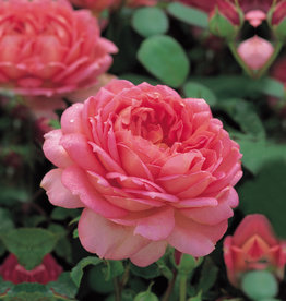 David Austin Jubilee Celebration™ English Rose