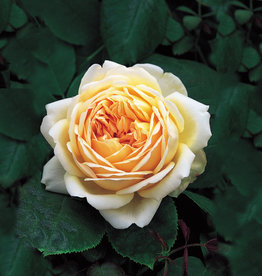 David Austin Jude the Obscure™ English Rose