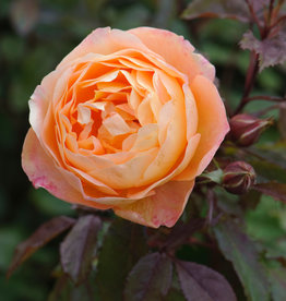 David Austin Lady Emma Hamilton™ English Rose