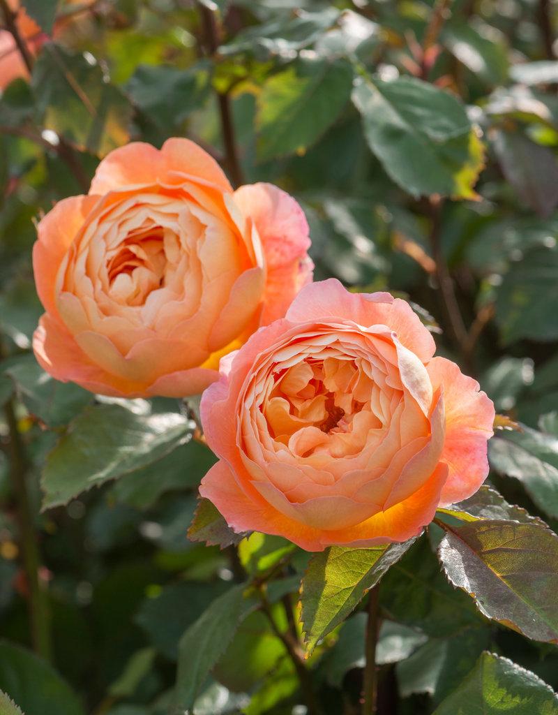 David Austin Lady Emma Hamilton™ English Rose