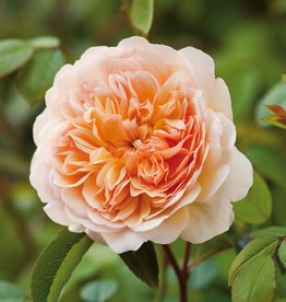 David Austin Port Sunlight™ English Rose