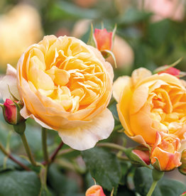 David Austin Roald Dahl™ English Rose