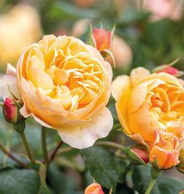 David Austin Roald Dahl™ English Rose