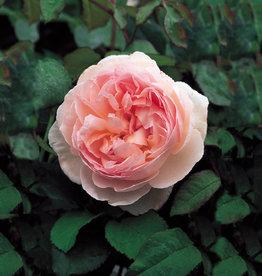 David Austin Sharifa Asma™ English Rose