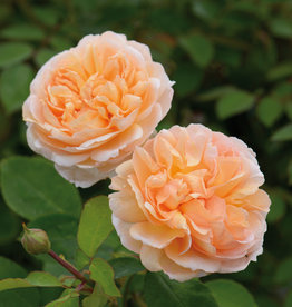 David Austin The Lady Gardener™ English Rose