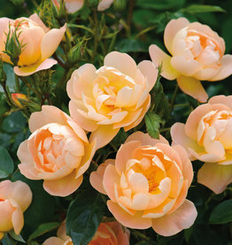 David Austin The Lark Ascending™ English Rose