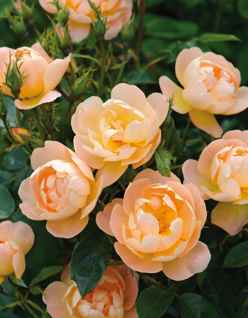 David Austin The Lark Ascending™ English Rose