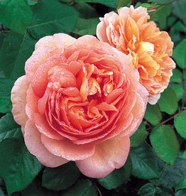 David Austin Abraham Darby™ English Shrub Rose