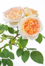 David Austin Bathsheba™ English Climbing Rose