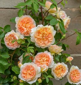 David Austin Bathsheba™ English Climbing Rose