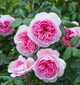 David Austin The Ancient Mariner™ English Shrub Rose