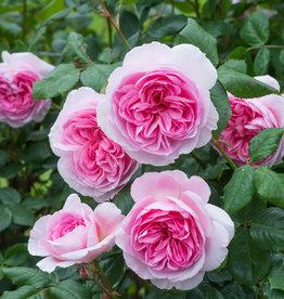 David Austin The Ancient Mariner™ English Shrub Rose