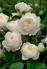 David Austin Claire Austin™ English Climbing Rose