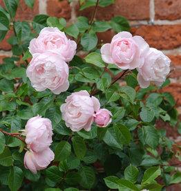 David Austin The Generous Gardener™ English Climbing Rose