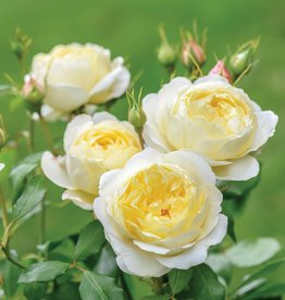 David Austin Vanessa Bell™ English Rose