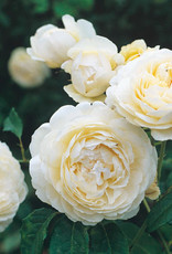 David Austin Windemere™ English Rose