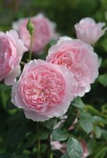 David Austin Wisely™ 2008 English Rose