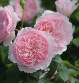 David Austin Wisely 2008™ English Rose
