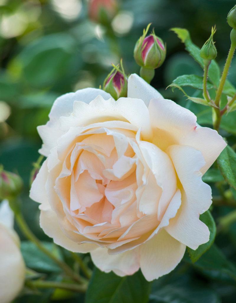 David Austin Wollerton Old Hall™ English Rose