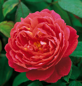 David Austin Benjamin Britten™ English Rose