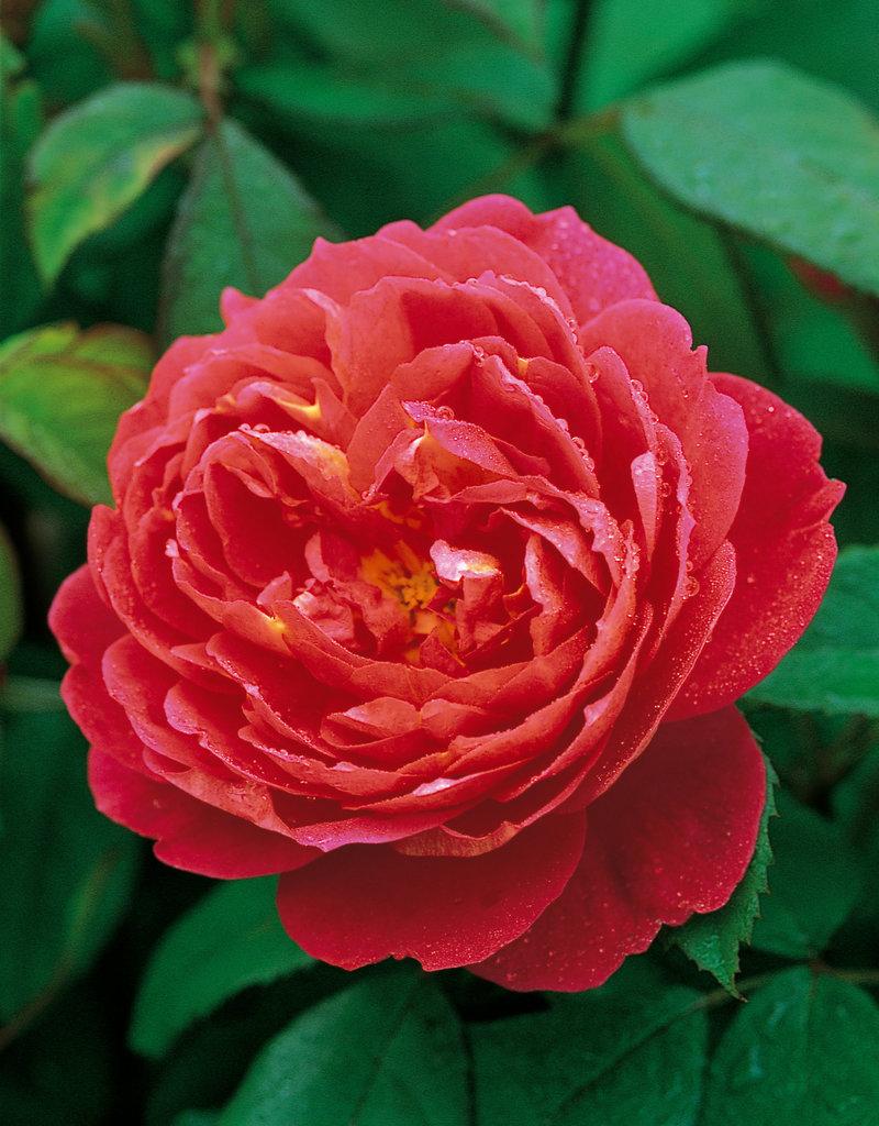 David Austin Benjamin Britten™ English Rose
