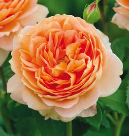 David Austin Carding Mill™ English Shrub Rose