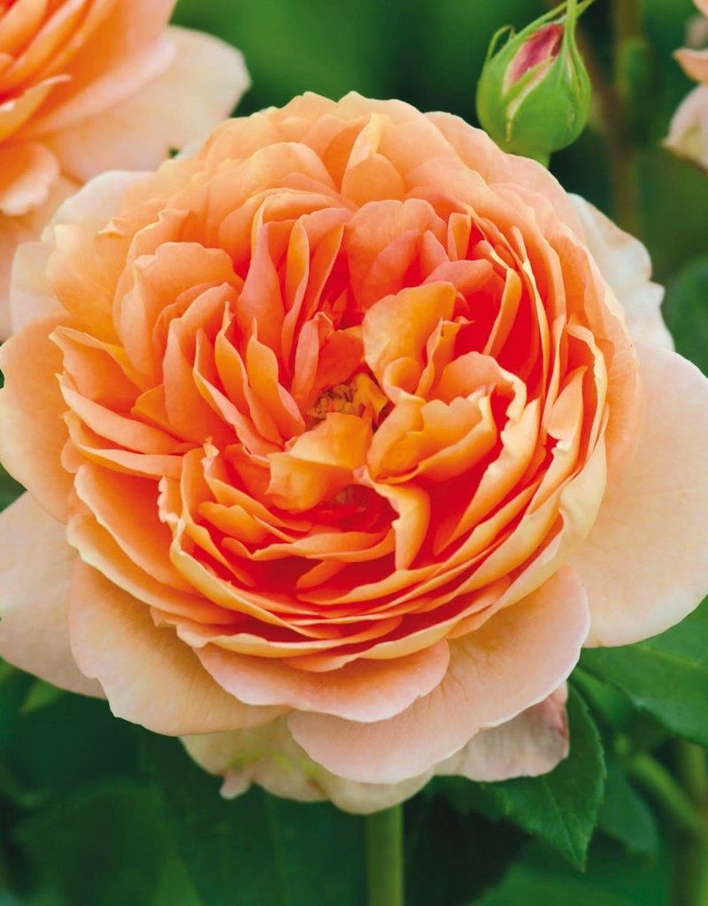 David Austin Carding Mill™ English Rose
