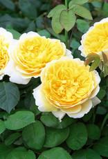 David Austin Charlotte™ English Shrub Rose