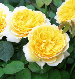 David Austin Charlotte™ English Shrub Rose