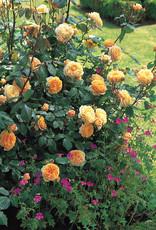 David Austin Crown Princess Margareta™ English Rose
