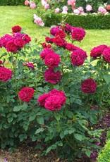 David Austin Darcey Bussell™ English Rose