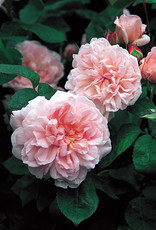 David Austin Eglantyne™ English Rose