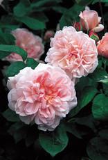 David Austin Eglantyne™ English Shrub Rose