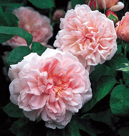 David Austin Eglantyne™ English Shrub Rose