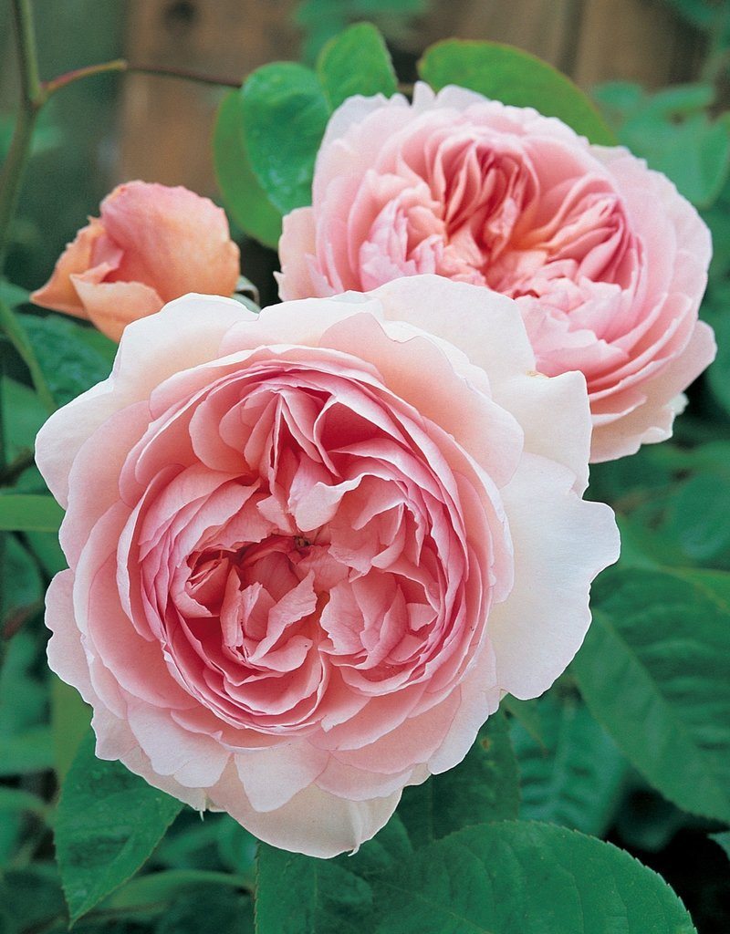 David Austin Gentle Hermione™ English Rose