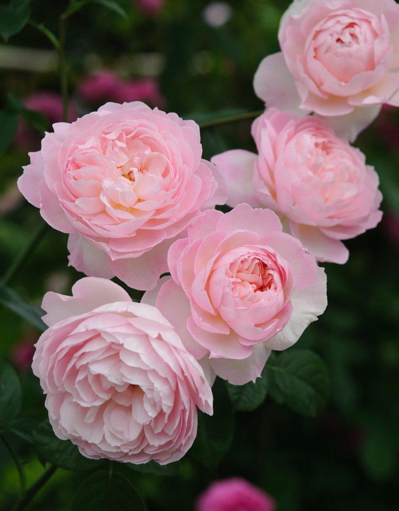David Austin Gentle Hermione™ English Shrub Rose