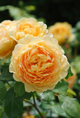 David Austin Golden Celebration™ English Rose