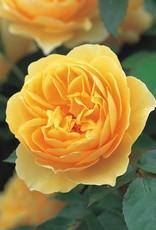 David Austin Graham Thomas™ English Rose