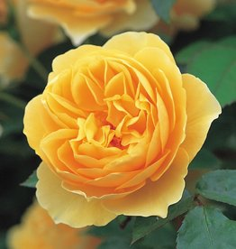 David Austin Graham Thomas™ English Rose