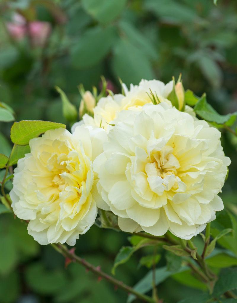 David Austin Imogen™ English Rose