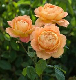 David Austin Lady of Shalott™ English Climbing Rose