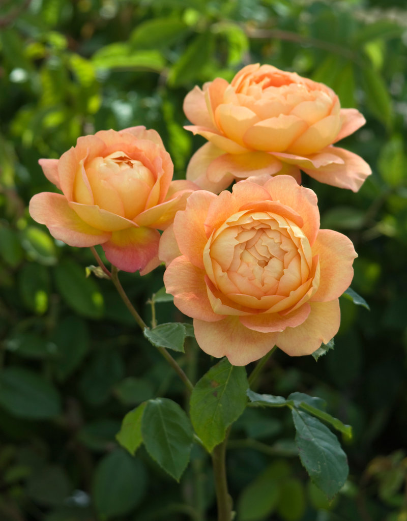 David Austin Lady of Shalott™ English Climbing Rose