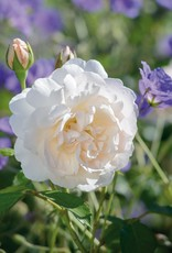 David Austin Lichfield Angel™ English Rose